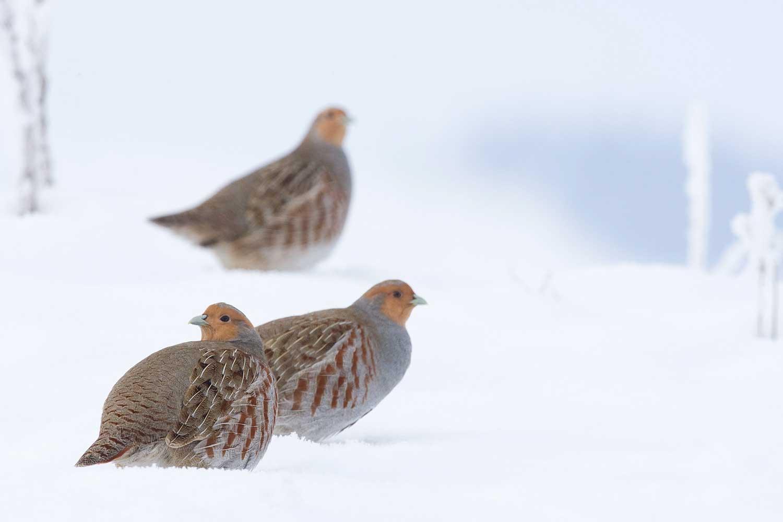 Hungarian Partridges