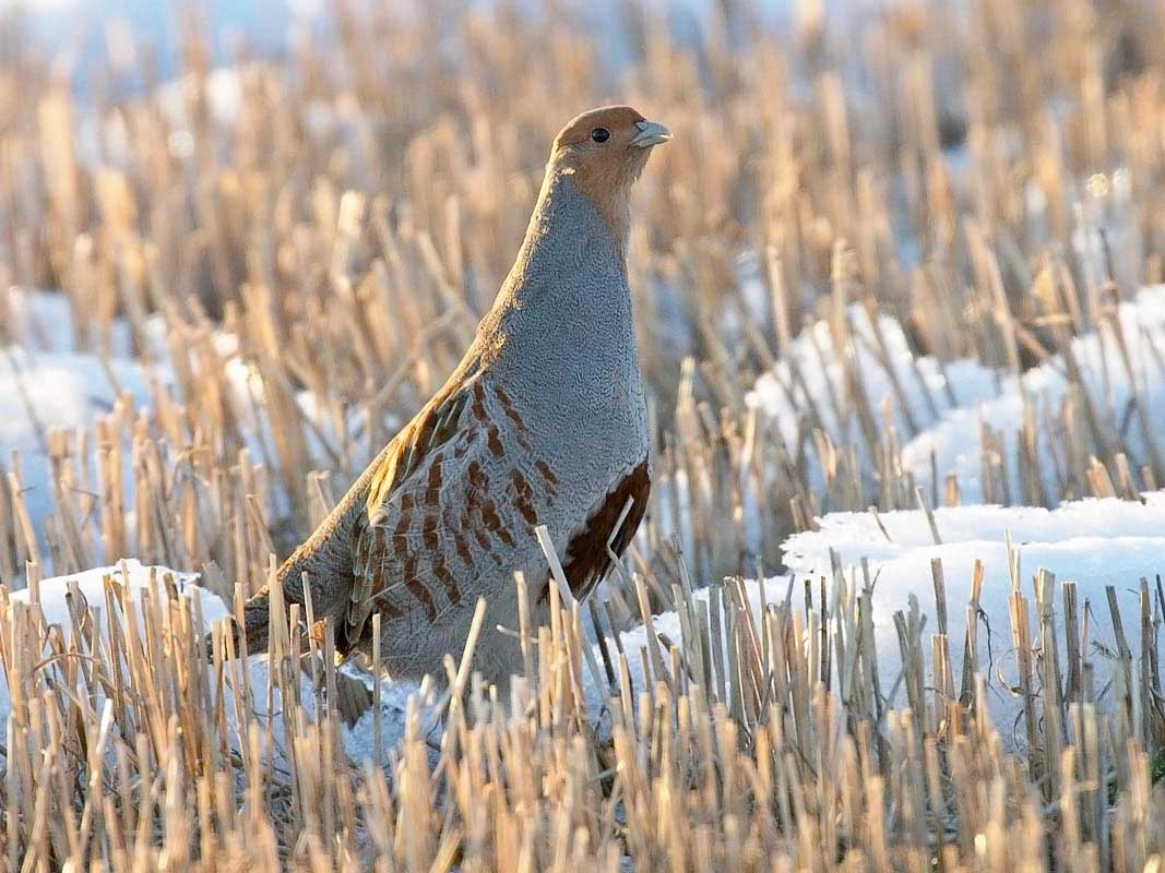Hungarian Partridges